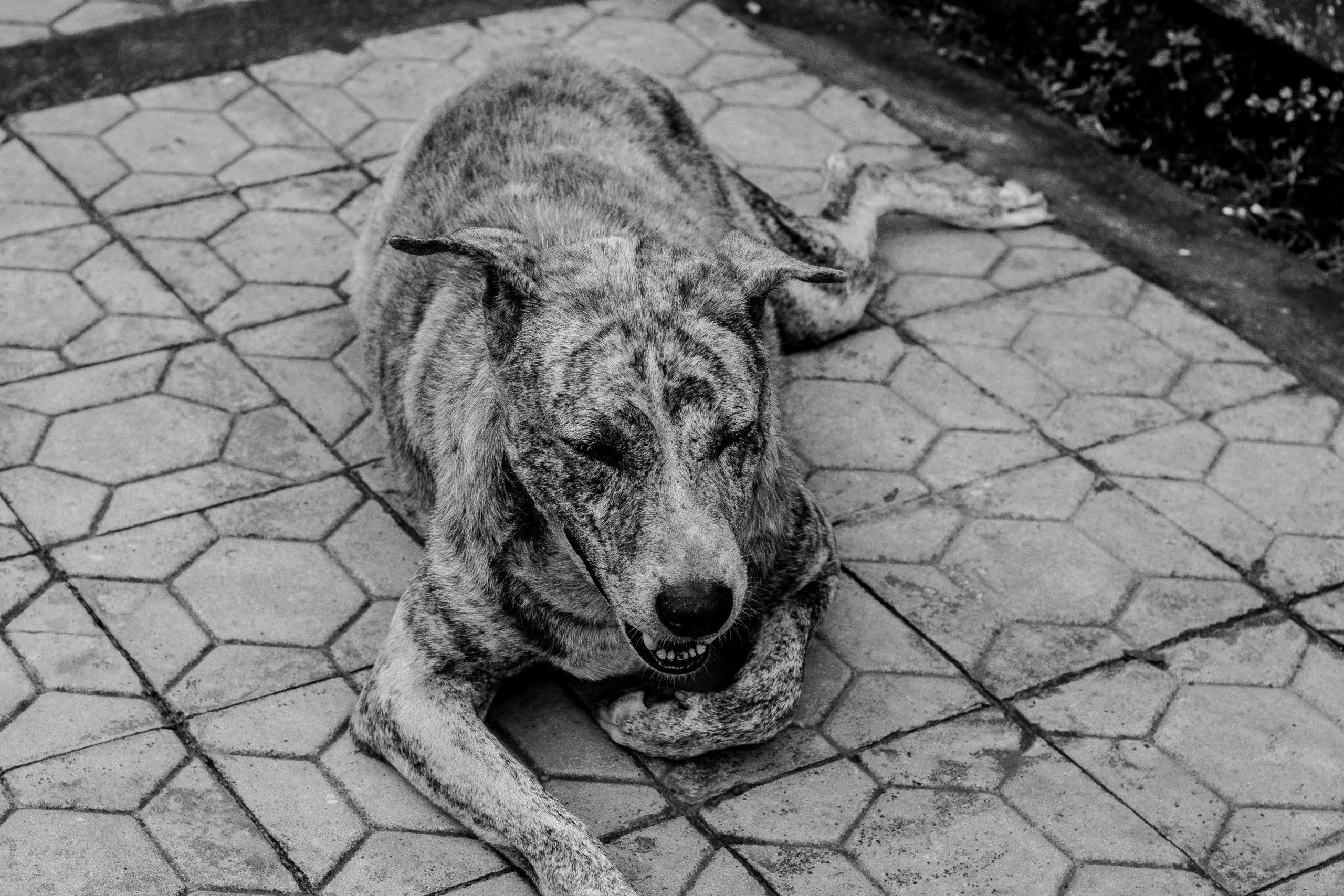 Bali_dog